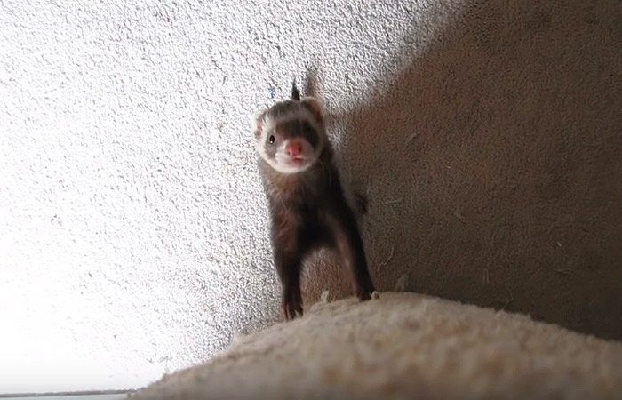 Adorable ferret