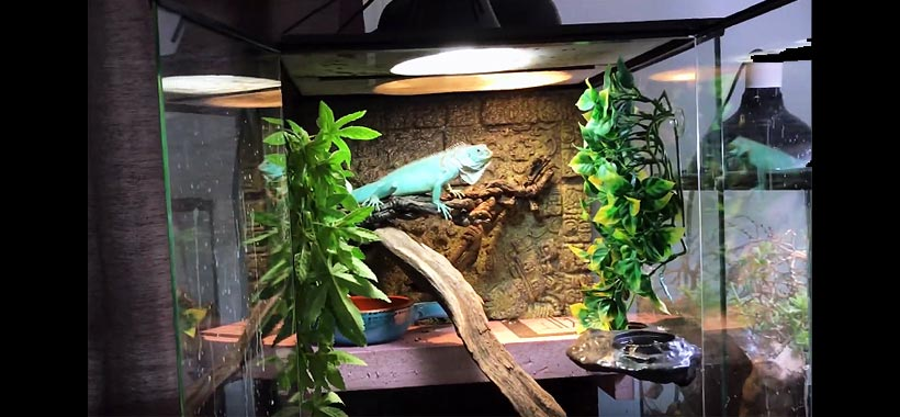 Best iguana enclosure