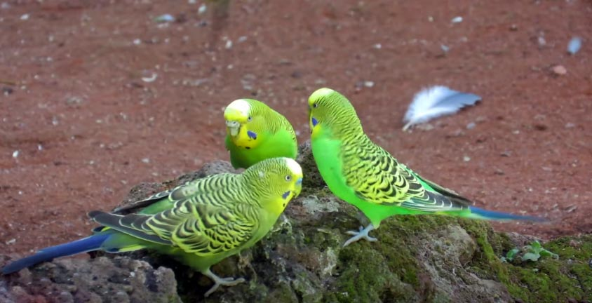 What do parakeets eat in the wild